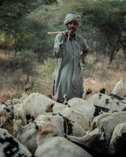 Goat Herd Rajasthan © Hamish Scott-Brown